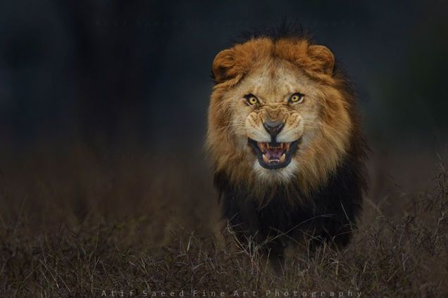 This photograph was snapped by Atif Saeed at a safari zoo park near Lahore. The Photographer Who Took This Picture Barely Escaped With His Life