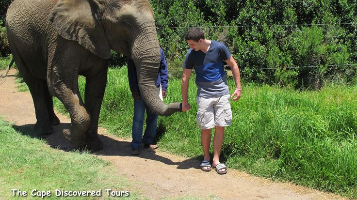 Walk with a gentle giant while on tour with The Cape Discovered