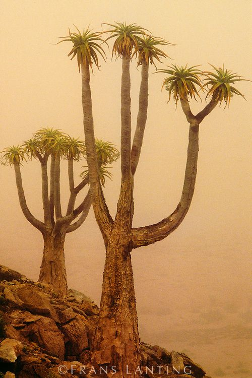 Giant tree aloes in morning fog, Richtersveld National Park, South Africa by Frans Lanting
