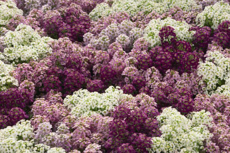 Алиссум - душистый цветок для сада Посадка семян.  Высевать семена нужно негусто и неглубоко, лучше, не присыпая, просто вдавить семена в почву, либо присыпать слегка. В парник на рассаду начинаем сеять уже в апреле, а на постоянное место – в мае. Раннее цветение  можно получить, посеяв семена под зиму.  Я чаще сею бурачок весной в грунт, особо не переживая какой сейчас месяц на дворе, просто по ощущениям и по привычке. А зацветает он в возрасте 40-50-ти дней, поэтому долго ждать не…