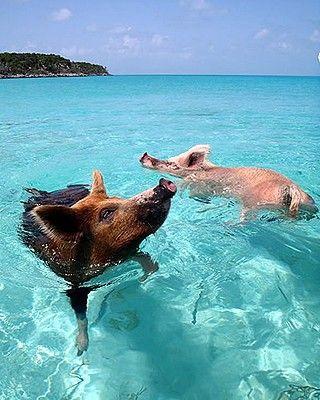 Ilha dos Porcos | Pig's Island