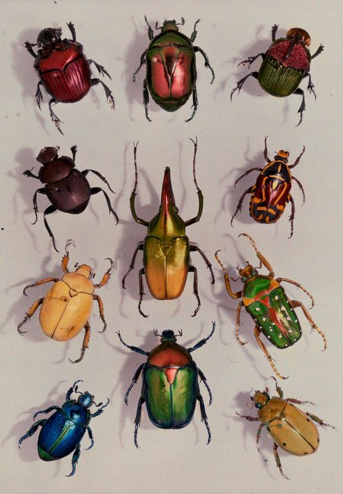 A group of scarabs from the Scarabaeid family, July 1929.Photograph by Edwin L. Wisherd, National Geographic