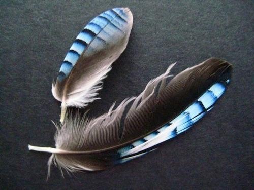 Mooie blauwe veren