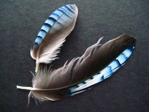 Stunning blue feathers