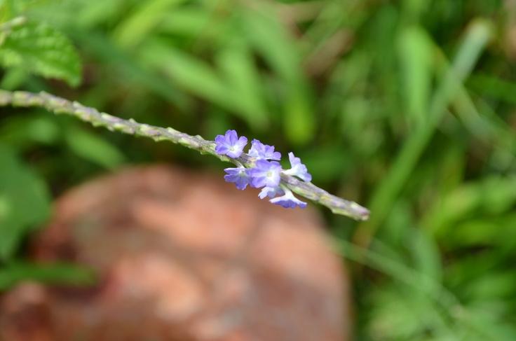 Macro Purpura