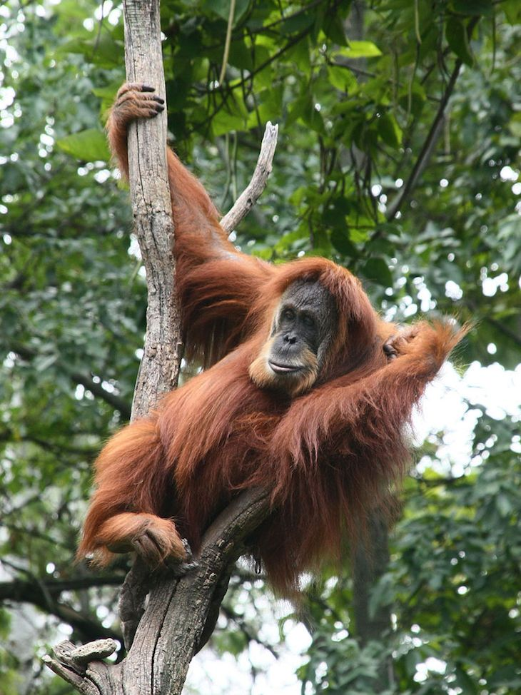 Sumatran orangutans are the only species of great ape found outside of Africa. Unlike their African great apes, the Sumatran orangutans lead a very solitary lifestyle, with males and females only really coming together to mate.