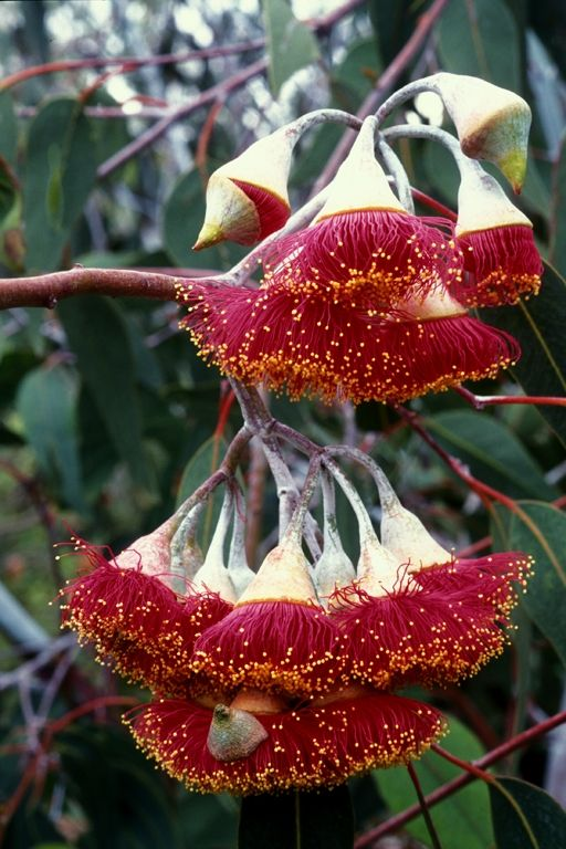 8 Best Images About Australian Native Plants On Pinterest