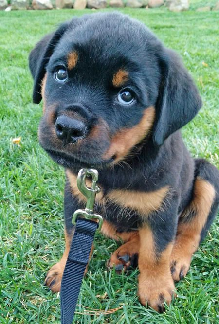 Crosby the Rottweiler has a very cute snubby nose and beautiful eyes.