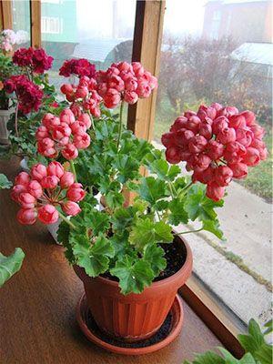 Герань тюльпановидная вызывает восхищение и у знатоков культуры, и у цветоводов-новичков. Причина – необычная форма цветов, пышное цветение и простота ухода за тюльпановидной геранью.