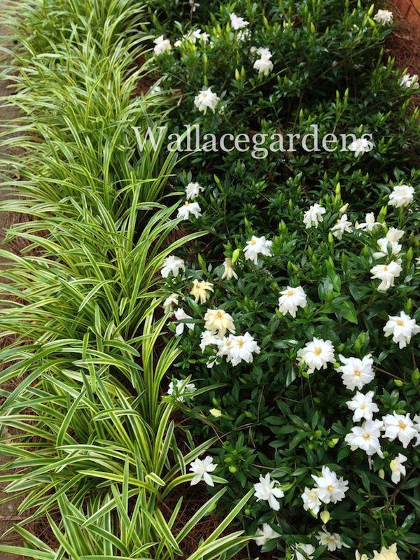 Groundcover Gardenia, evergreen, June flowers, fragrant, low-growing.
