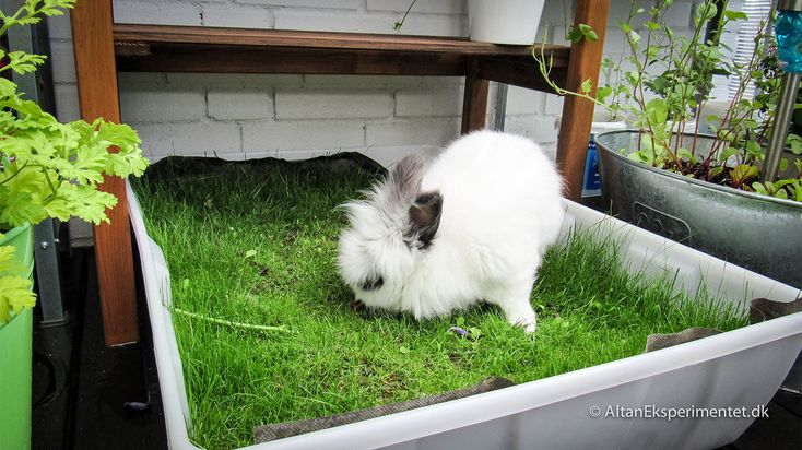 En græsplæne på altanen til kaninen #græsplæne #altan #kanin  #lawn #balcony #bunny #rabbit