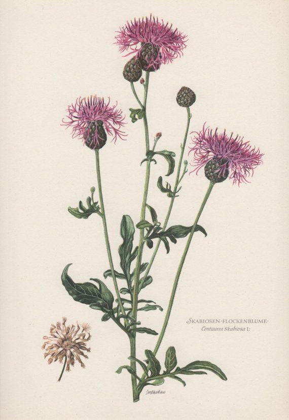 Botanical Print Centaurea scabiosa Greater by AntiquePrintGarden