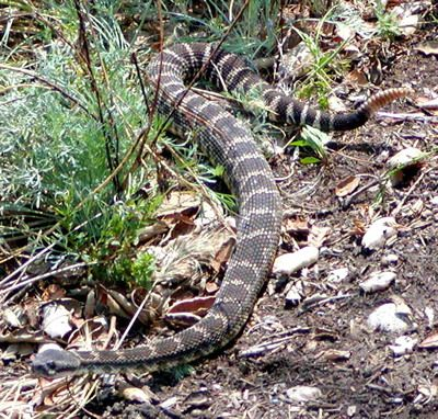 Best Poisonous Snakes Images On Pinterest Poisonous Snakes - Poisonous snakes in mississippi