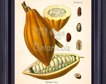 Kohler 8x10 Botanical Print Vintage Art Plate Theobroma Cacao CACAO TREE fruit seeds large brown yellow botanical room wall decor  BF0725