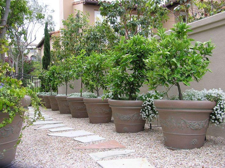 Beautiful Best 25+ Potted Trees Ideas On Pinterest | Indoor Lemon Tree, Grow Lemon  And Lemon Plant