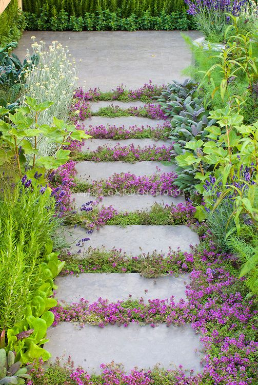 Thyme flowers between stones- Beautiful path  Thyme herbs in flower Thymus, in crevices and nooks and crannies of path stepping stones walkway with herbs and lettuce vegetables: rosemary Rosmarinus, Salvia officinalis, Lavandula lavender, dill, kale, patio