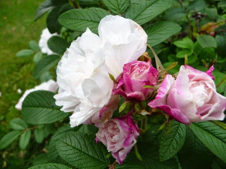 95 parasta kuvaa rosor f r zon 4 pinterestiss kiipeily hermione ja ruusut - Derriere les murs de mon jardin ...