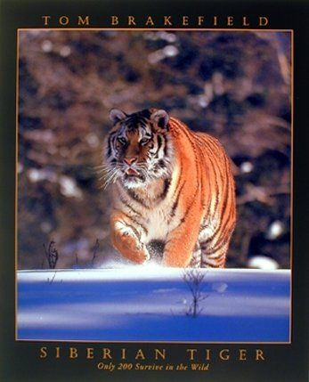 This beautiful art print poster goes well in any room with all decor style. This poster captures the image of Siberian Tiger running towards something in a snow field looks amazing is sure to catch everyone's attention. This poster is a great option in order to decor your wall. It gives a unique touch to your home and lobby. This poster will transform any room into an exotic natural environment and goes well with all decor style. Ensures high quality with perfect color accuracy.
