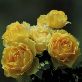 smooth buttercup rose - a thornless rose with a lovely shape and fragrance.  Rebloomer!