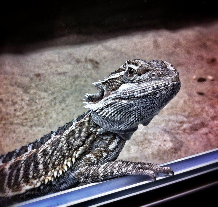 Breaded Dragon named Number 5. - szakállasagáma sàrkàny neve: Number 5.