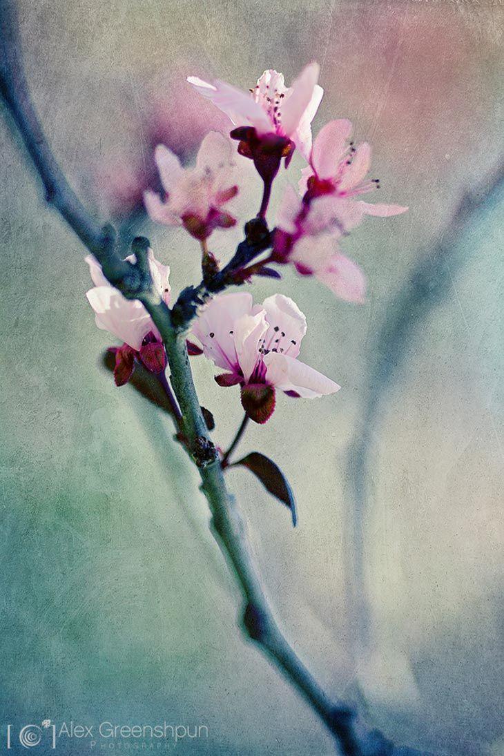 103 best images about cherry blossom tree on pinterest for Simple cherry blossom painting