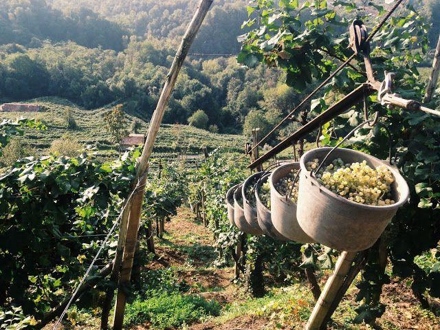 i diari della lambretta: harvest time in the Prosecco hills