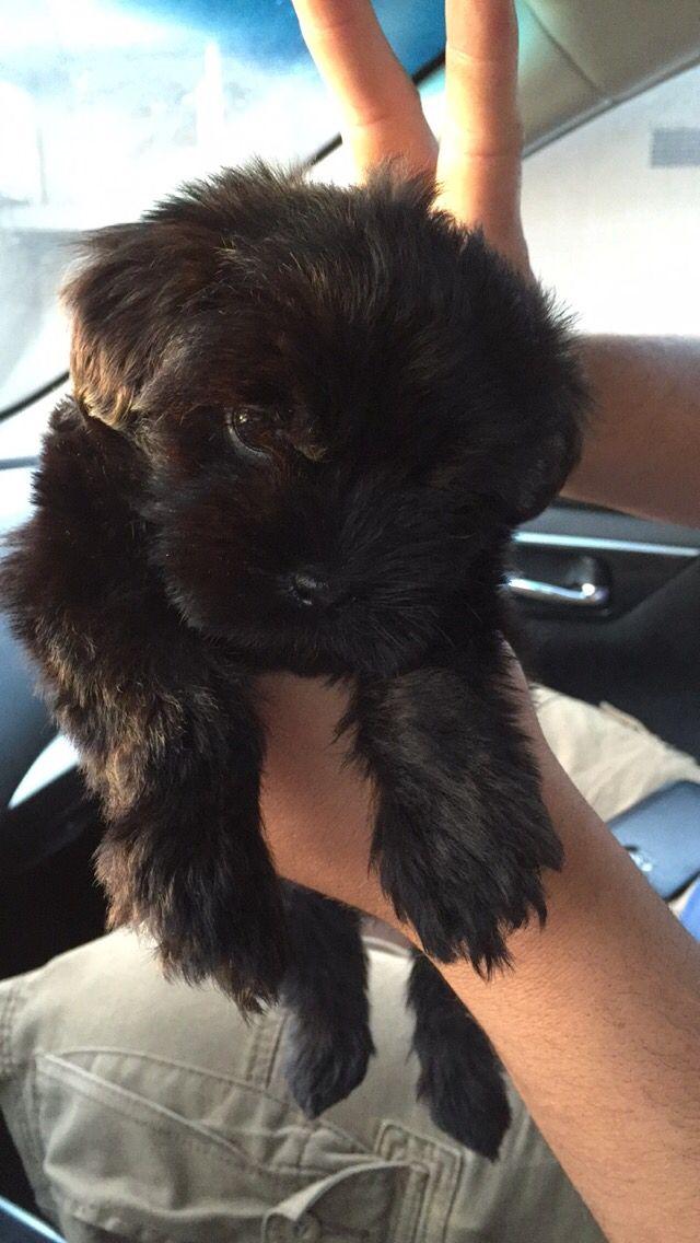My Black maltipoo 8weeks old #CutePuppy #Maltipoo