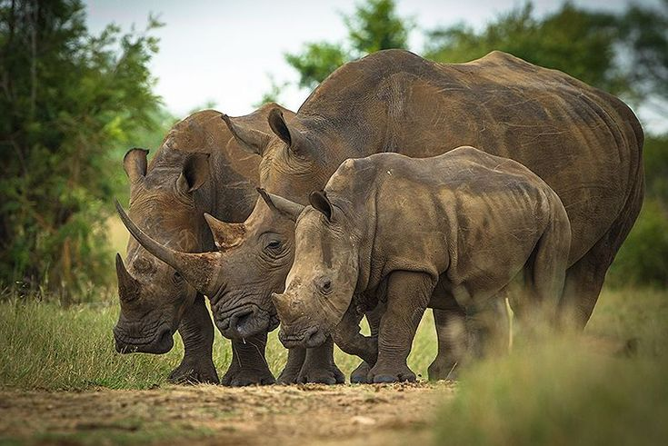 This Could Be the Worst Year Yet for Rhino Poaching.  With demand high in China and Vietnam, rhino horns have been valued at prices as high as $133 a gram—more expensive than gold or platinum. The horns are used in traditional medicines touted as a cure for everything from headache to cancer. UGH!!!  | TakePart