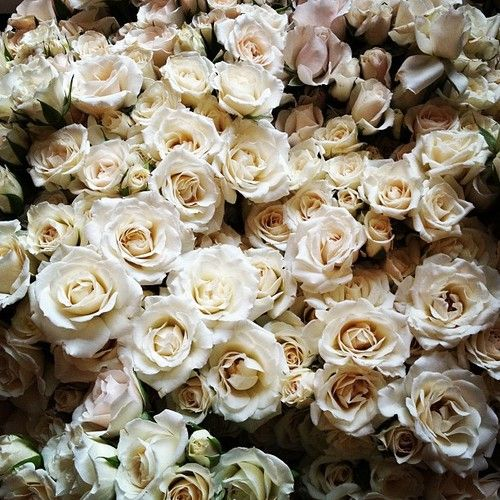 majolica spray roses. A miniature rose, opens lovely, creamy white.