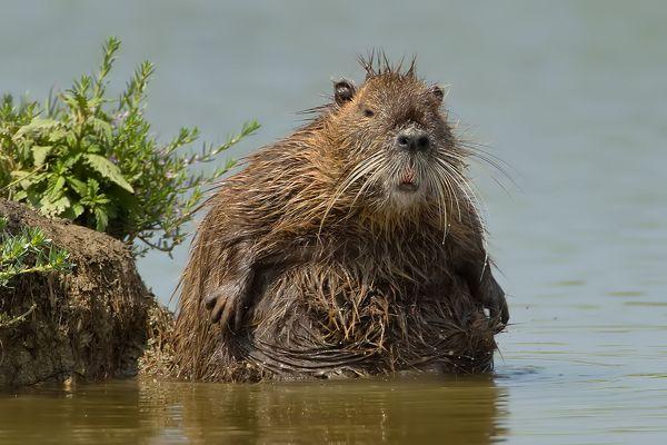 Image result for fat beaver