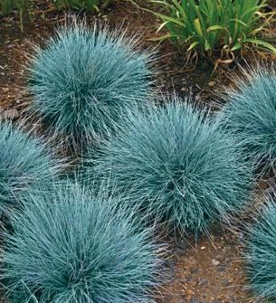 blue fescue grass...my favorite mini sized...so easy to start from seeds