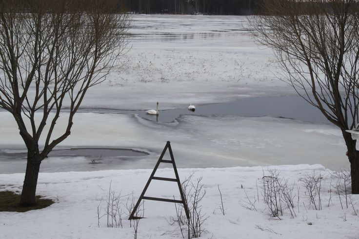 Joutsenet sulassamme #kevät #Puruvesi #Finland