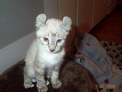 Highlander cat...kinda looks like a lion cub!