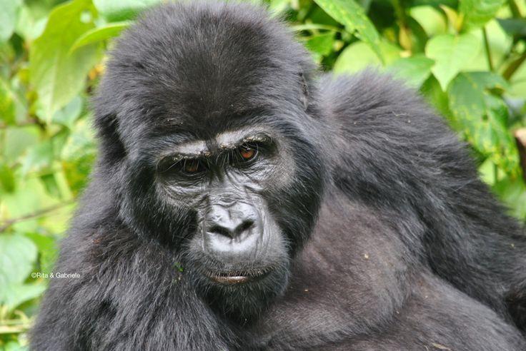Si arriva così vicini che quasi, allungando una mano, sembra di toccarli. Si incontrano gli sguardi e sembra ci si capisca!!! I meravigliosi gorilla di montagna...