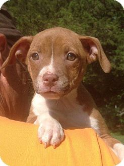 Columbus, OH - Boxer Mix. Meet Freckles a Puppy for Adoption.