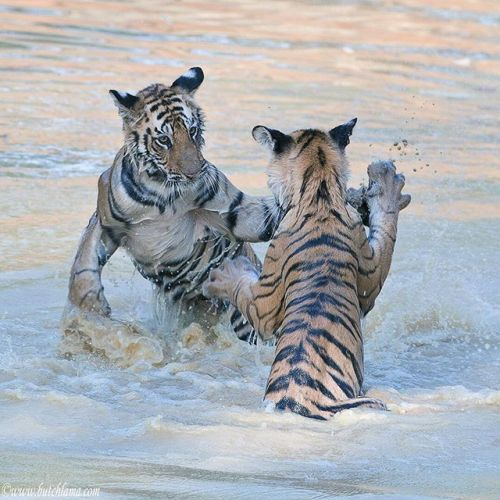 Are tigers on your photo bucket list? Track and photograph Indias tigers with wildlife pro Butch Lama in 2019 (sorry 2018 is fully booked). Consider Wild India LLCs most popular most productive programfor quality  consistency of tiger sightingsFocus on Bandhavgarh (Tiger Reserve) during Indias summermid-March to early June. Photo tours limited to 4 participants. Learn more: www.butchlama.com    #sp #ad #phototours #photoworkshops #tigers #wildlife #india #travel #adventure #Bandhavgarh via…