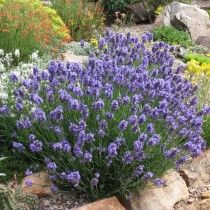 How to choose, grow and care for lavender, including French Lavender, English Lavender, Spanish Lavender and hybrids. Tips on mulching, fertilizing and ideal times to plant.