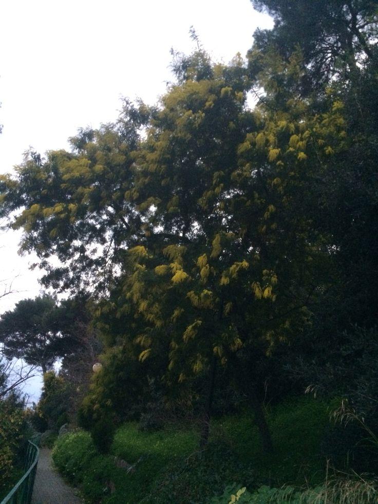 Bussana Nuova (IM). Mimosa fiorita a Dicembre 2015