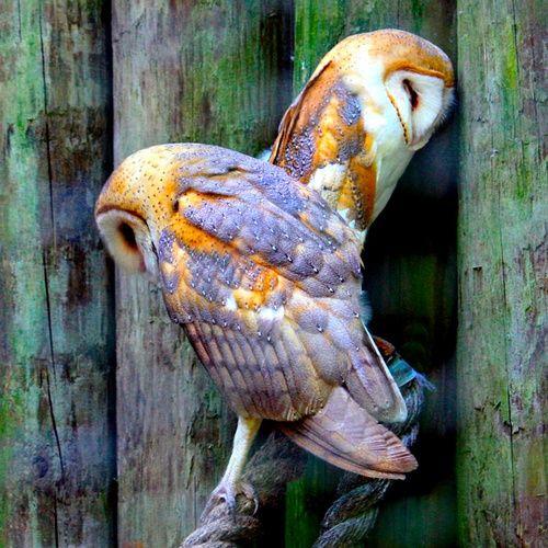 Barn Owls Thinking Things Over;photo by Dorothy Menera