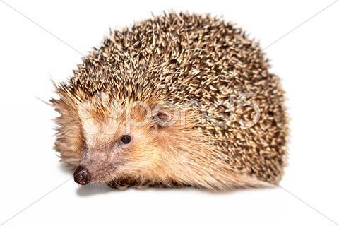 hedgehog isolated - Stock Photo | by eZeePicsStudio