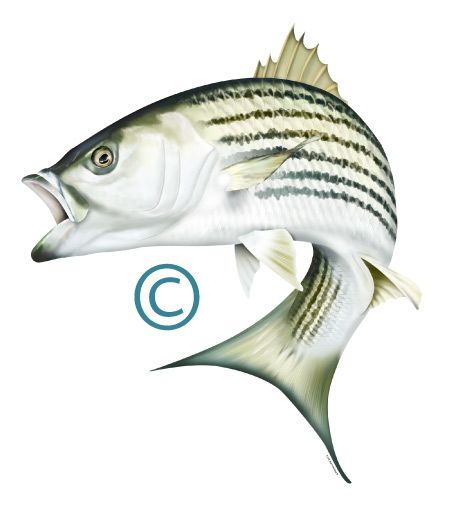 34 best images about saltwater sport fish illustrations for Striper fish pictures