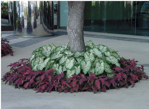 Precision Landscape » Caladiums – Gingerland with Red Frill