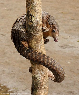 Pangolins in Peril: All 8 Species of Scaly Anteaters Endangered by Illegal Trade. Pangolins are the only members of the order Pholidota, and it wil be tragic if they are lost to future generations.
