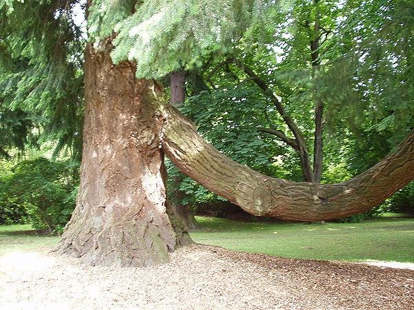Sumpfzypresse im Park von Scone Palace in Schottland (Astdicke ca. 50 cm)