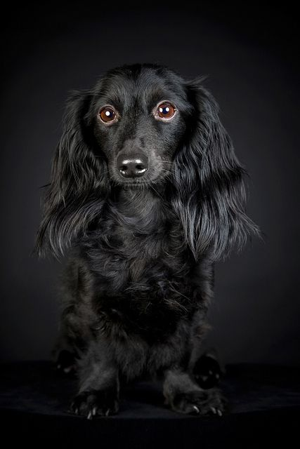 Dachshund, Black on Black.   #dogs