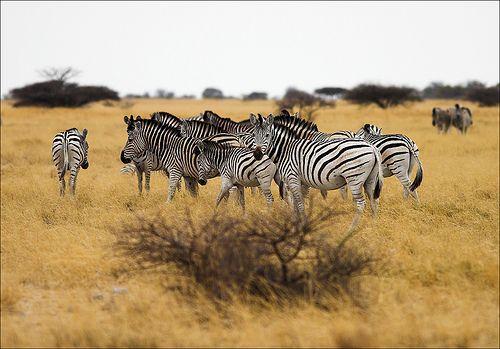 https://flic.kr/p/5MLiEi | Zebras | Plains Zebra / Burchell-Steppenzebra (Equus burchelli)  near Ntwetwei Pan, Makgadikgadi N.P., Kalahari, Botswana - Large On Black