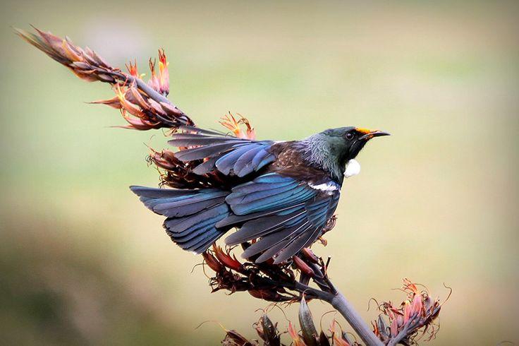 Tui Bird photorgaphy, New Zealand native birds. Lindsay Murray