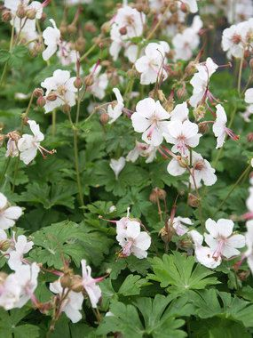 Deer Resistant. White flowers with pink centers. Has a nice trailing habit