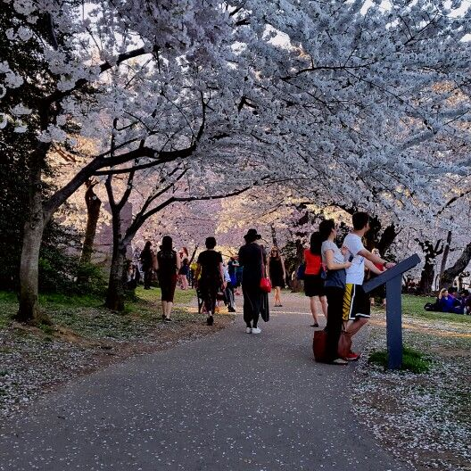 The beauty of cherry blossoms