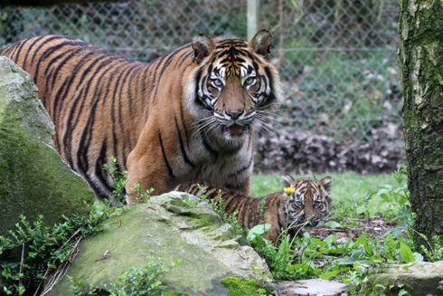 Naissance d'un tigre de Sumatra au Zoo de La Boissière du Doré